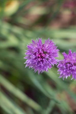 Purple garlic flowers spring and summer blossom