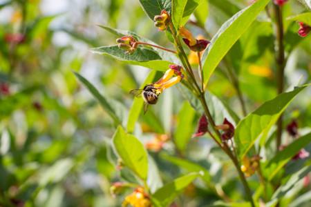 Small bumblebee with yellow honeysuckle Lonicera involucrata