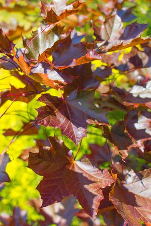 Red Maple autumn Tree Crimson King Leaves