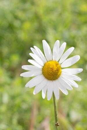 Idyllic Summer Meadow wildflowers - white daisy