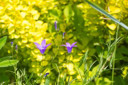 Idyllic Summer Meadow wildflowers - purple campanula