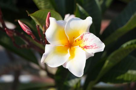 White tropical asian flower Plumeria Stock Photo