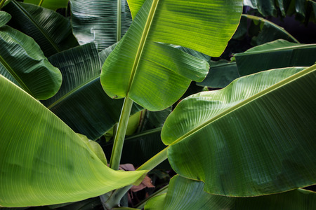 Big green banana leaves in Asia (Thailand) Stock Photo