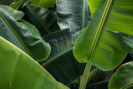 Big green banana leaves in Asia (Thailand) 版權商用圖片