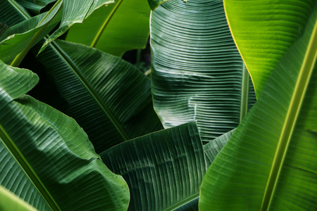 Big green banana leaves in Asia (Thailand) Banque d'images