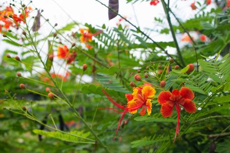 Red tropical asian flower Caesalpinia pulcherrima