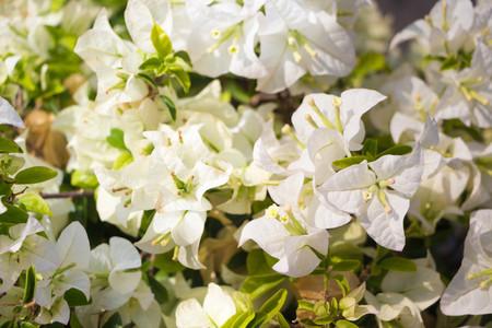 White Bougainvillea Flower blossom in Asia (Thailand)