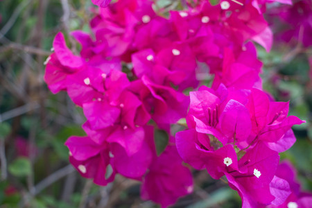 Pink Bougainvillea Flower blossom in Asia (Thailand) Stock Photo