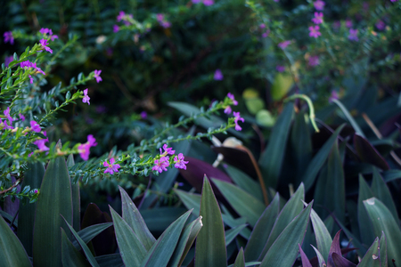 elves: Purple tropical flowers Cuphea hyssopifolia and Rhoeo Stock Photo
