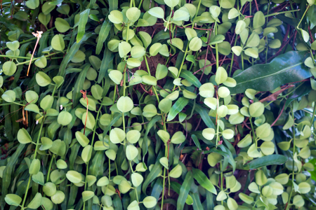 Liana in Asia with round thick leaves Stock Photo
