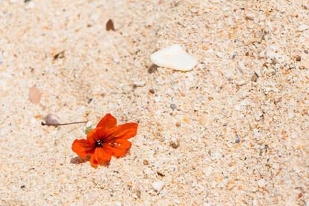 Orange Asian flower Hibiscus on the sand, Thailand 写真素材