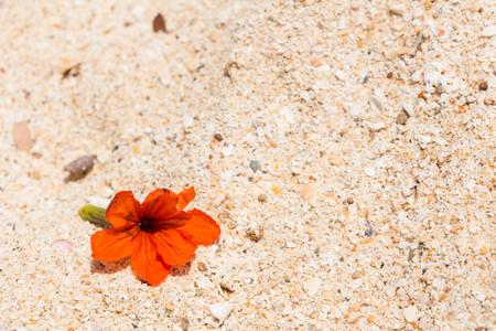 Orange Asian flower Hibiscus on the sand, Thailand 스톡 콘텐츠