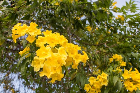 Blooming yellow Bougainvillea branch in Asia, Thailand 写真素材