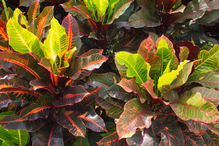 Close up colorful of Garden Yellow and red Croton
