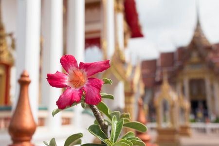 Adenium flower branch with Buddhist temple architecture 写真素材