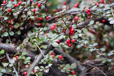 Bright red berries of bearberry cotoneaster Cotoneaster dammeri with green leaves