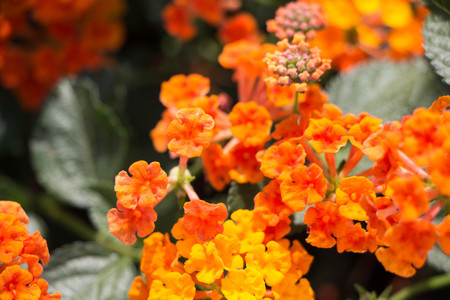 Closeup to Lantana Camara Flowers with Leafs