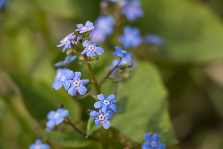 Myosotis alpestris or alpine forget me not is a herbaceous perennial plant in the flowering plant family Boraginaceae