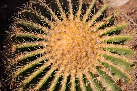 Round Cactus, see Mammillaria, Melocactus, and Opuntia