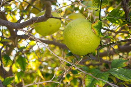 Orange mandarin on the tree. Ripe tangerine. Montenegrin mandarin trees. Home tangerine garden.