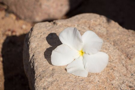 White plumeria flowers On a large pebble stone