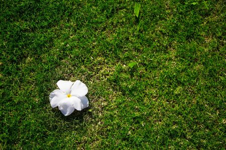White plumeria flowers on green grass background 写真素材
