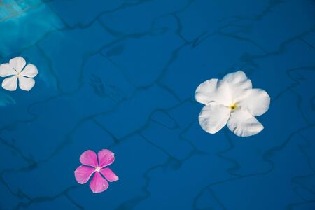 Single Peaceful Plumeria Flower Floating on Clear Water 写真素材