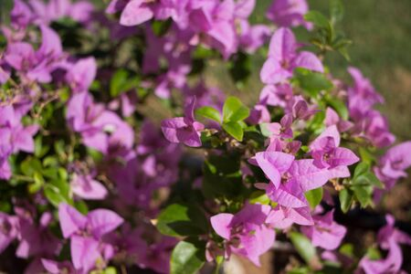 Blooming bougainvillea flowers background. Bright pink magenta bougainvillea flowers as a floral background.