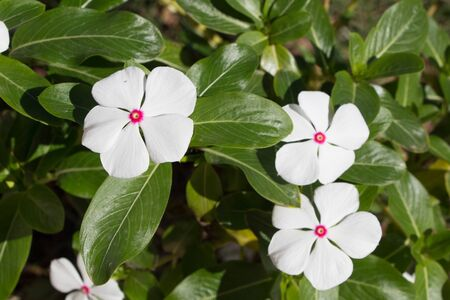 White Catharanthus roseus commonly known as the Madagascar periwinkle, rosy periwinkle or teresita 写真素材
