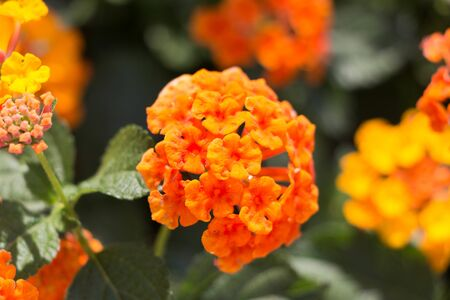 Lantana various color bloom in the garden has green leaf backgroud