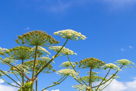 Heracleum Sosnowskyi on blue sky background. All parts of Heracleum Sosnowskyi contain the intense toxic allergen furanocoumarin. Stock Photo