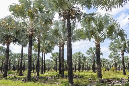sawgrass: Growing Palm trees in Florida