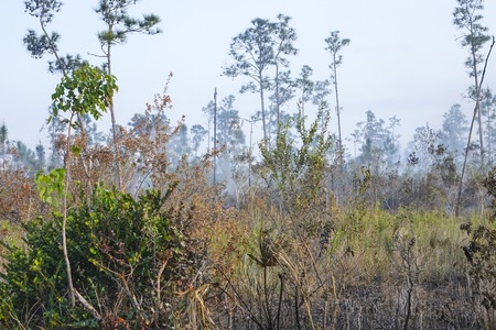 Everglades national park: Fire in the Everglades National Park - burning trees