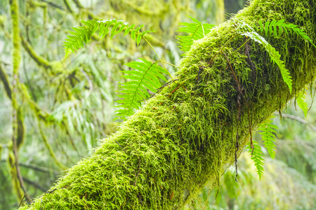 Beautiful trees full of moss in the rain forest CANADA Stock Photo