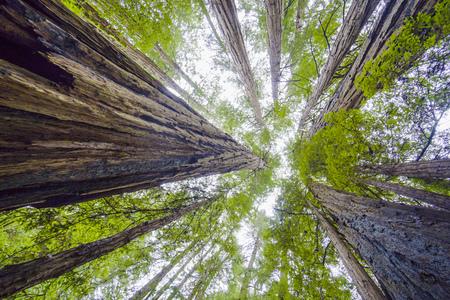 Beautiful nature - the Redwood Forest - red cedar trees - CALIFORNIA 版權商用圖片