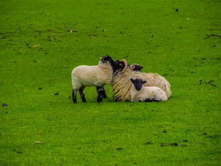 Sheeps in Ireland - a typical view
