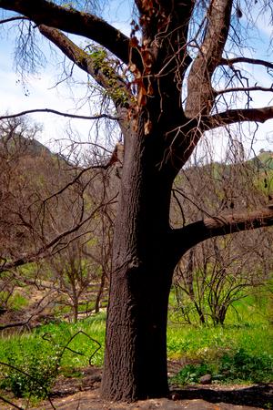 Verbrannte Bäume nach dem Großbrand in Malibu Standard-Bild