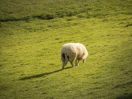 Sheeps grassing in the green grass of Ireland