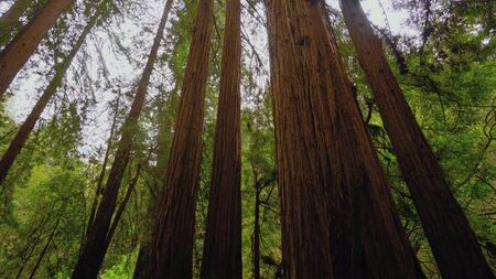The Giant red Cedar trees at Redwoods National Park - travel photography