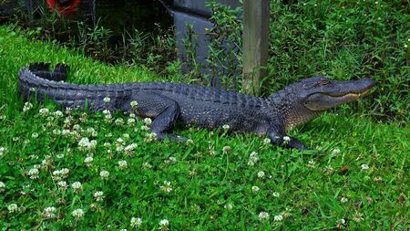 Big alligator in the swamps of Louisiana - travel photography Stock fotó