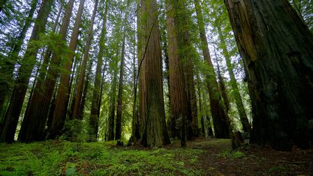 Beautiful nature at Redwood Forest - travel photography