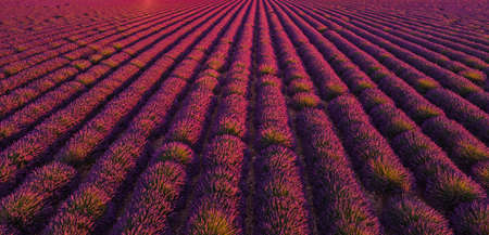 The lavender fields of Valensole Provence in France Imagens
