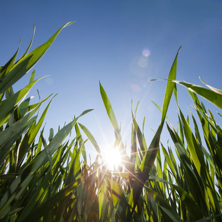 sky and grass: wide angle image of grass from low angle and bright blue sky with shining sun for background