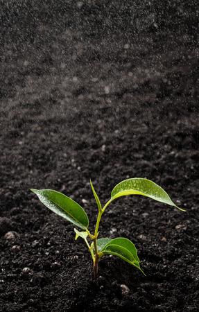 sotto la pioggia: Germoglio verde che cresce sotto la pioggia Archivio Fotografico