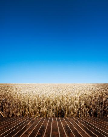 cultivo de trigo: Un campo de trigo, nueva cosecha de trigo.