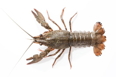 alimentation: crayfish on a white background