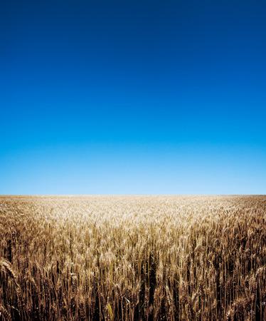 cultivo de trigo: Un campo de trigo nueva cosecha de trigo.