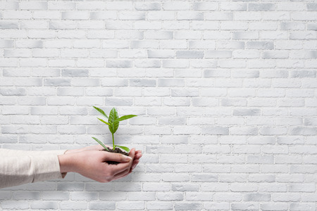 Human hands holding green small plant new life concept over white brick wall background Foto de archivo