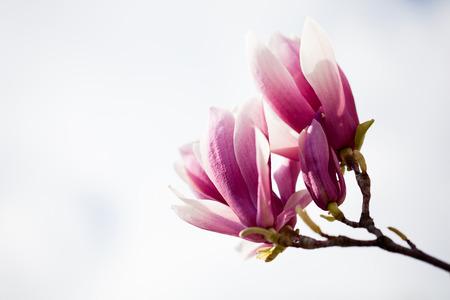 feminine background: Saucer magnolia (Magnolia x soulangeana). Stock Photo