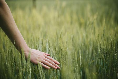 Hand touching wheat field ears